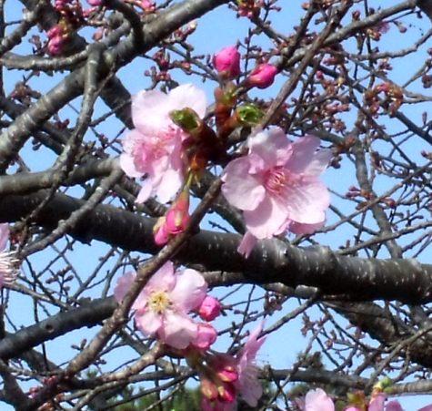画像ー282 サンライズ九十九里の雛人形としらこ桜 116-4