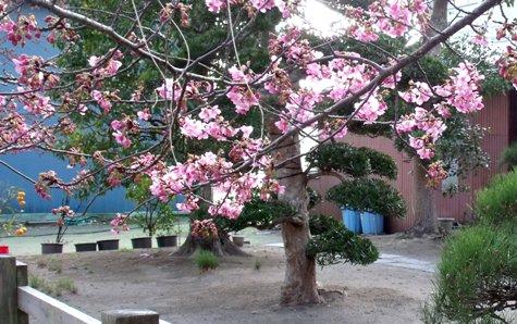 画像ー282 サンライズ九十九里の雛人形としらこ桜 120-3
