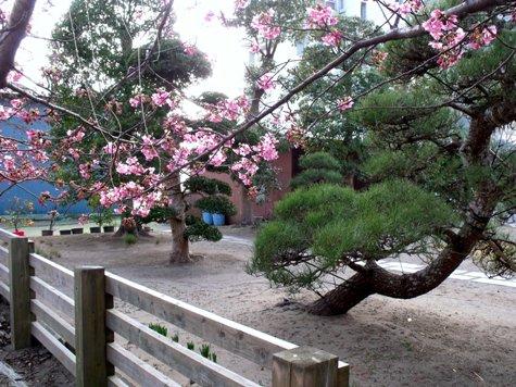 画像ー282 サンライズ九十九里の雛人形としらこ桜 120-2