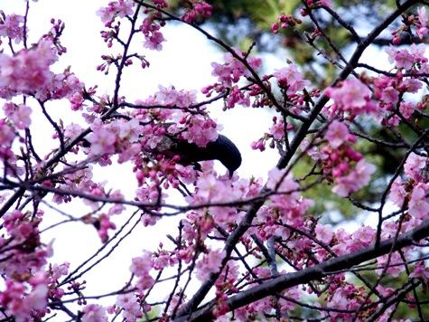 画像ー282 サンライズ九十九里の雛人形としらこ桜 123-2