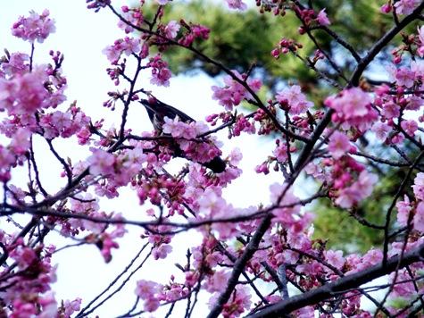 画像ー282 サンライズ九十九里の雛人形としらこ桜 122-2