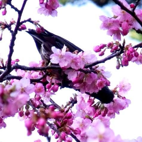 画像ー282 サンライズ九十九里の雛人形としらこ桜 122-3