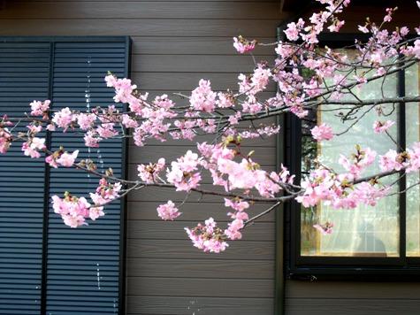 画像ー282 サンライズ九十九里の雛人形としらこ桜 127-2
