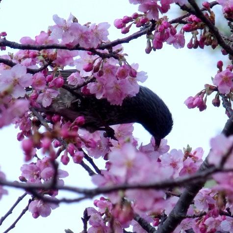 画像ー282 サンライズ九十九里の雛人形としらこ桜 123-3