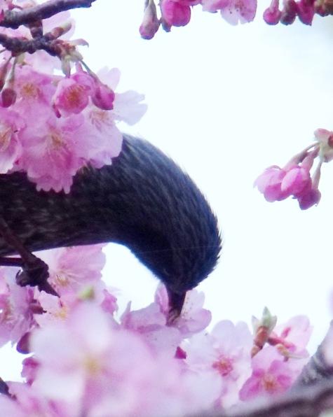 画像ー282 サンライズ九十九里の雛人形としらこ桜 123-4