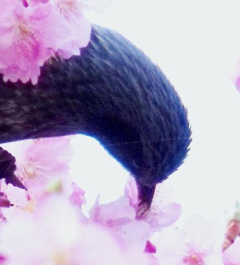 画像ー282 サンライズ九十九里の雛人形としらこ桜 123-5