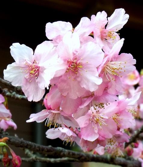 画像ー282 サンライズ九十九里の雛人形としらこ桜 130-3