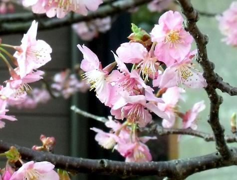 画像ー282 サンライズ九十九里の雛人形としらこ桜 128-2
