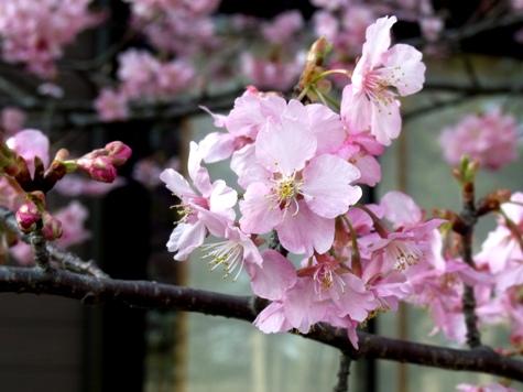 画像ー282 サンライズ九十九里の雛人形としらこ桜 129-2