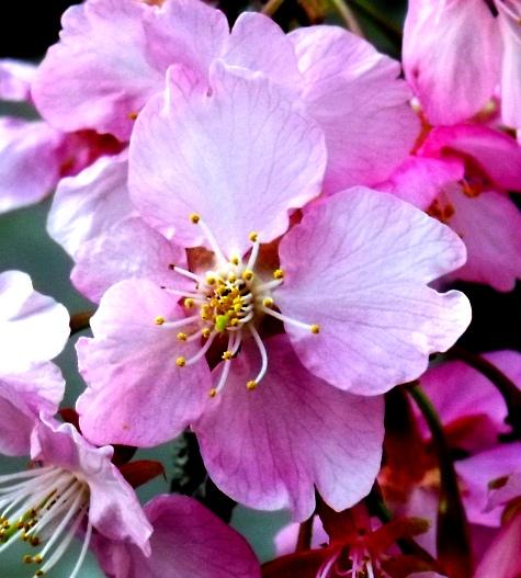 画像ー282 サンライズ九十九里の雛人形としらこ桜 129-3