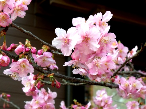 画像ー282 サンライズ九十九里の雛人形としらこ桜 130-2