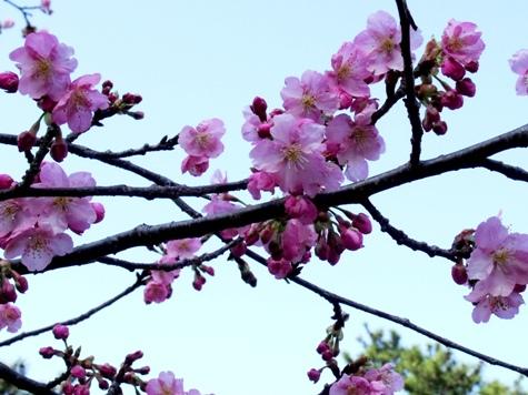 画像ー282 サンライズ九十九里の雛人形としらこ桜 133-2