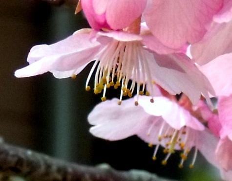 画像ー282 サンライズ九十九里の雛人形としらこ桜 130-4