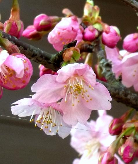 画像ー282 サンライズ九十九里の雛人形としらこ桜 130-5