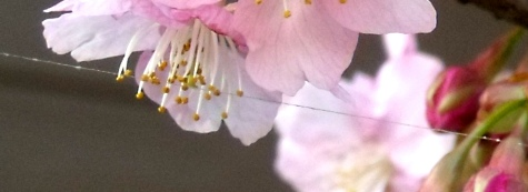 画像ー282 サンライズ九十九里の雛人形としらこ桜 130-6
