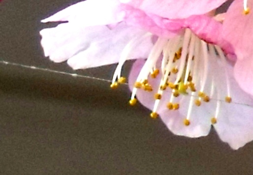 画像ー282 サンライズ九十九里の雛人形としらこ桜 130-7