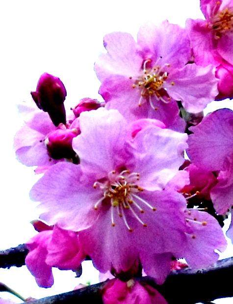 画像ー282 サンライズ九十九里の雛人形としらこ桜 133-4