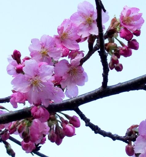 画像ー282 サンライズ九十九里の雛人形としらこ桜 133-3