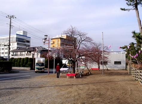 画像ー282 サンライズ九十九里の雛人形としらこ桜 138-2