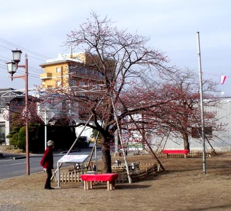 画像ー282 サンライズ九十九里の雛人形としらこ桜 139-2