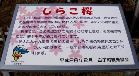 画像ー282 サンライズ九十九里の雛人形としらこ桜 140-2