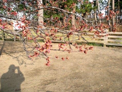画像ー282 サンライズ九十九里の雛人形としらこ桜 142-2