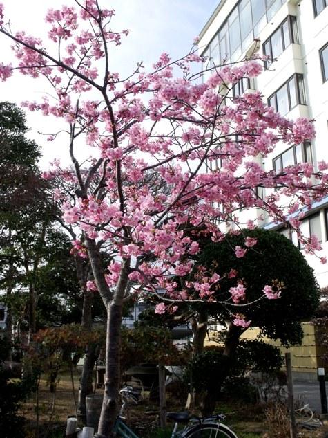 画像ー282 サンライズ九十九里の雛人形としらこ桜 146-2