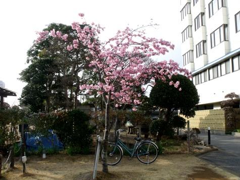 画像ー282 サンライズ九十九里の雛人形としらこ桜 143-2
