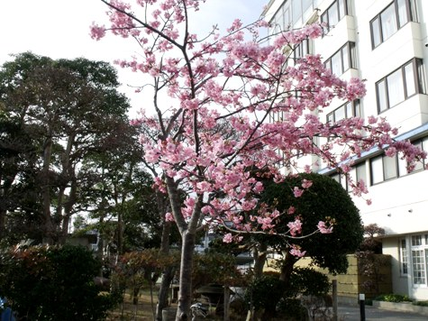 画像ー282 サンライズ九十九里の雛人形としらこ桜 144-2