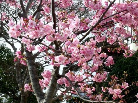 画像ー282 サンライズ九十九里の雛人形としらこ桜 145-2
