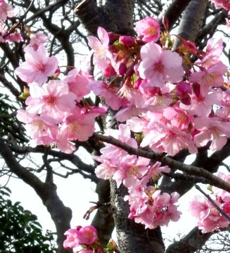 画像ー282 サンライズ九十九里の雛人形としらこ桜 145-3