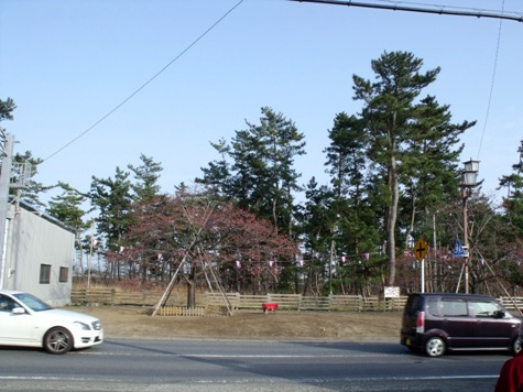 画像ー282 サンライズ九十九里の雛人形としらこ桜 148-2