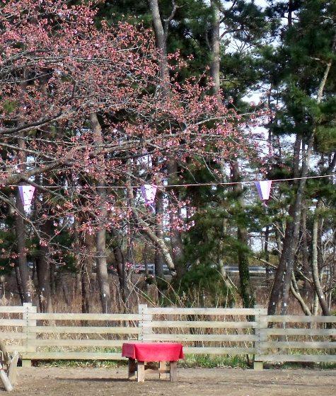 画像ー282 サンライズ九十九里の雛人形としらこ桜 149-3