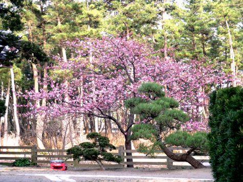 画像ー282 サンライズ九十九里の雛人形としらこ桜 152-2