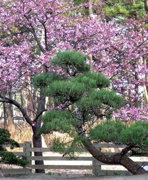 画像ー282 サンライズ九十九里の雛人形としらこ桜 152-3
