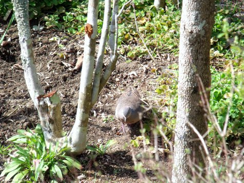 画像ー287 春先の庭2015サクランボ 017-2
