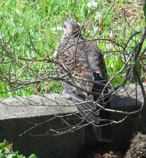 画像ー287 春先の庭2015サクランボ 031-2