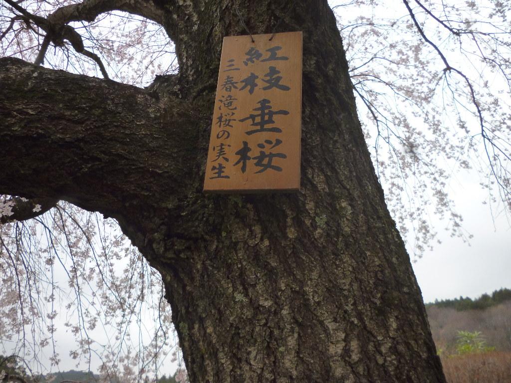 枝垂桜の木肌
