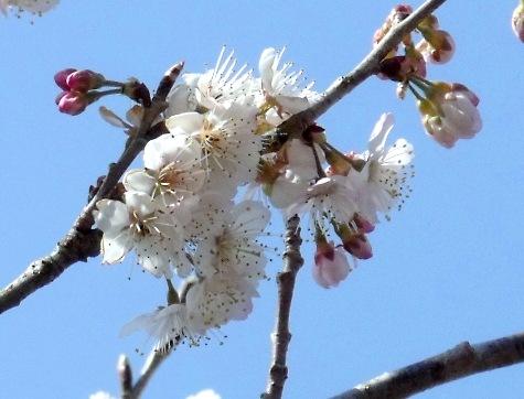 画像ー287 春先の庭2015サクランボ 046-3