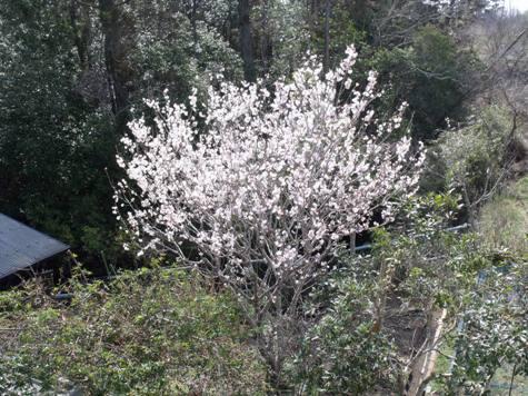 画像ー287 春先の庭2015サクランボ 032-2