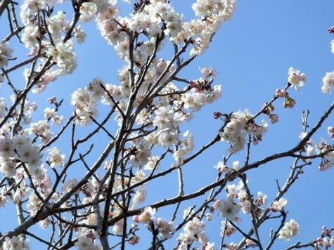 画像ー287 春先の庭2015サクランボ 046-2