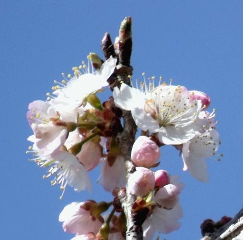 画像ー287 春先の庭2015サクランボ 049-3
