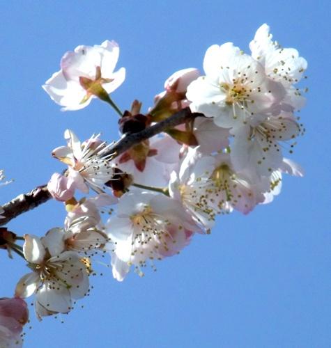 画像ー287 春先の庭2015サクランボ 048-3
