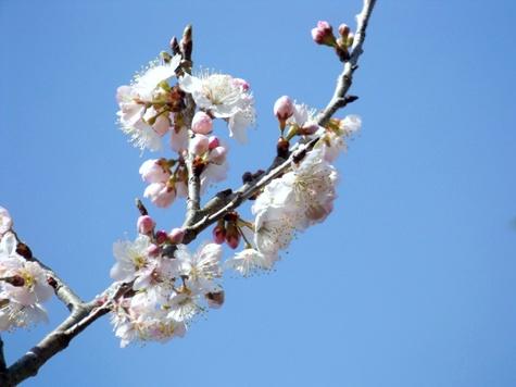 画像ー287 春先の庭2015サクランボ 049-2