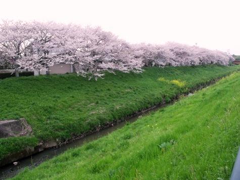 画像ー295 2015年茂原の桜・豊田川 008-2