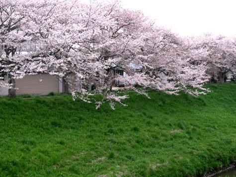 画像ー295 2015年茂原の桜・豊田川 009-2