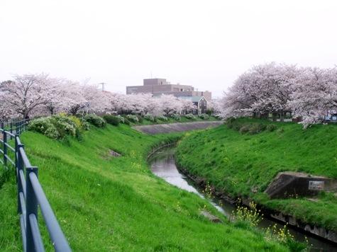 画像ー295 2015年茂原の桜・豊田川 011-2