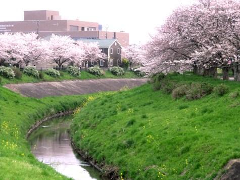 画像ー295 2015年茂原の桜・豊田川 012-2
