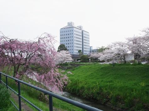 画像ー295 2015年茂原の桜・豊田川 073-2