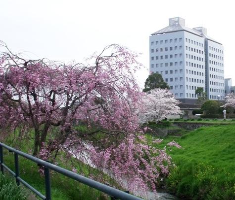 画像ー295 2015年茂原の桜・豊田川 073-3